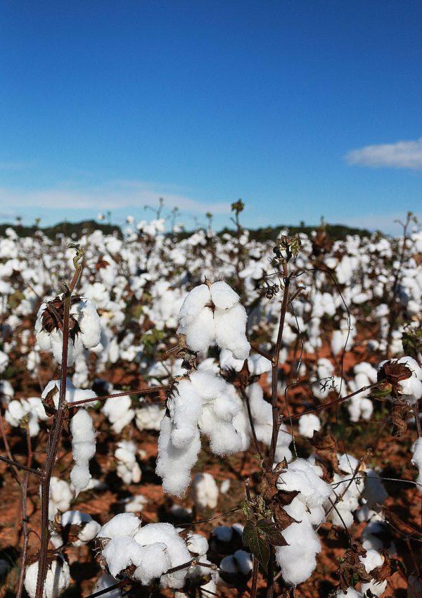 Georgia's Cotton Fields and Mountain Ranges