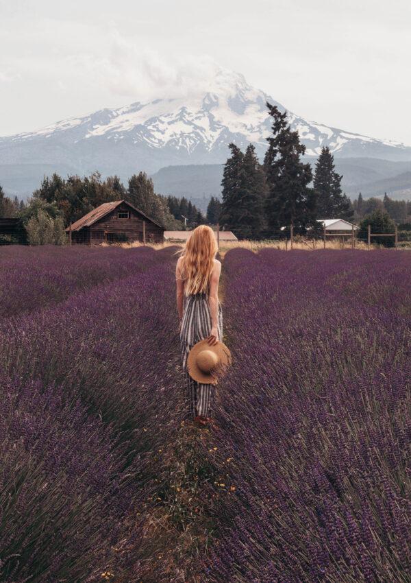 Mt Hood Lavender Field