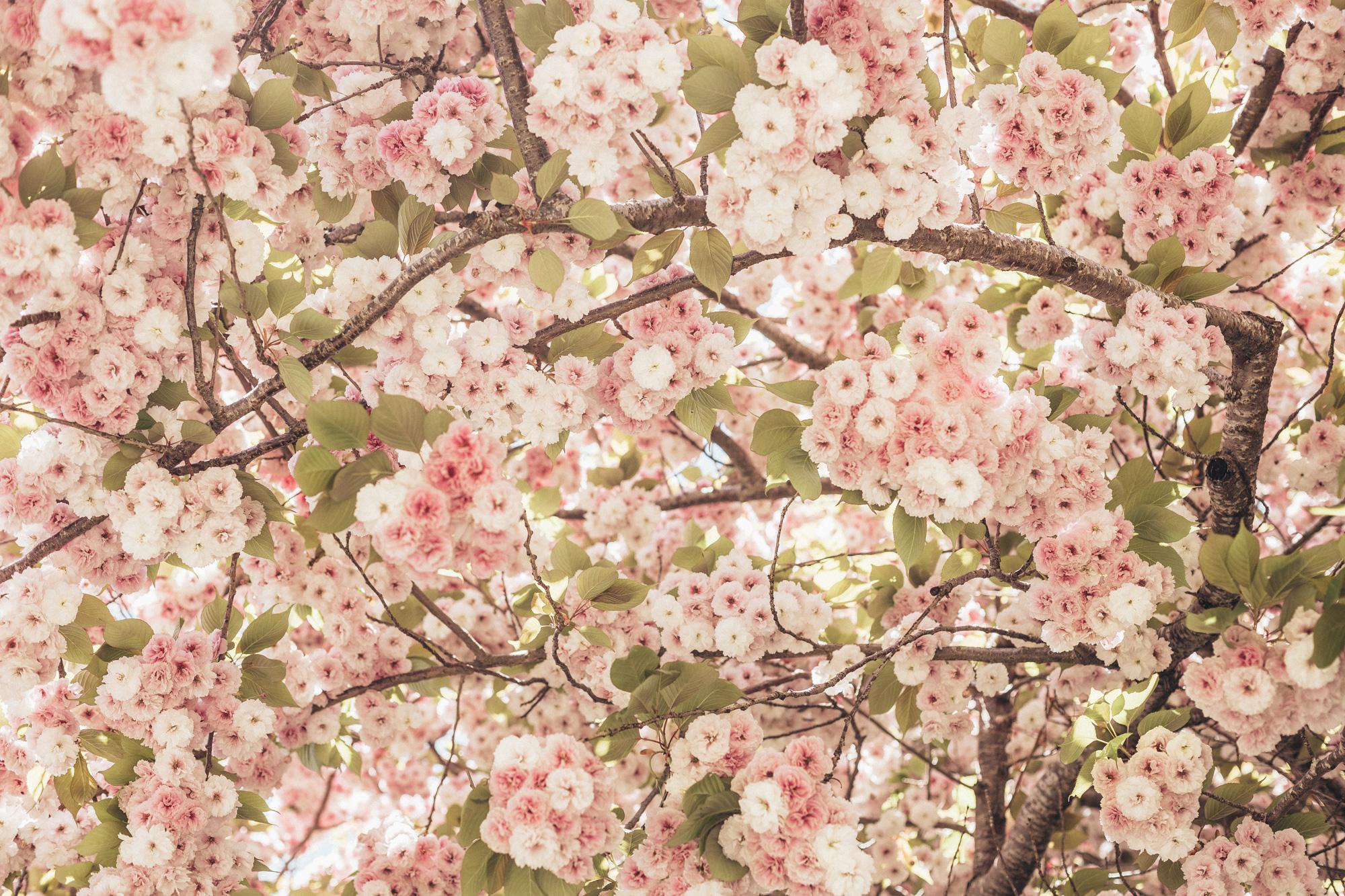 Shirofugen Cherry Blossom Trees Spring Clark College